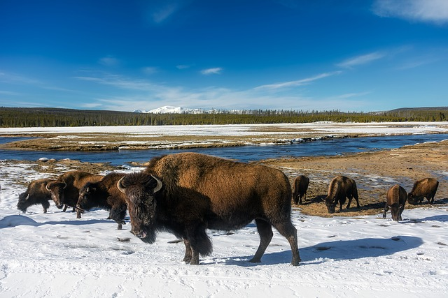 A herd of wood bison stand on snow covered banks with a river in the background